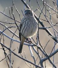 A house finch at Hager Pond in Marlborough, photographed by Steve Forman.