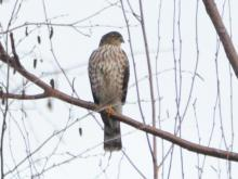 A sharp-shinned hawk at Assabet River National Wildlife Refuge in Sudbury, photographed by Ron McAdow.