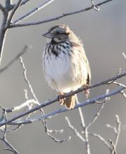 A song sparrow at Hager Pond in Marlborough, photographed by Steve Forman.
