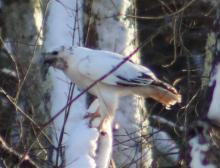 A leucistic red-tailed hawk in Southborough, photographed by Rebecca Watters.