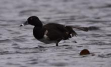 A ring-necked duck at Delaney WMA in Harvard, photographed by Jason Shields.