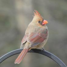 A northern cardinal in Sudbury, photographed by Sharon Tentarelli.