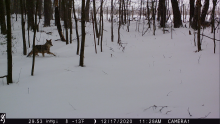 A coyote in Harvard, photographed with an automatically triggered wildlife camera by Steve Cumming.