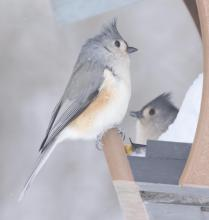 Tufted titmice in Framingham, photographed by Steve Forman.