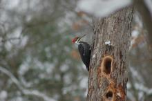 A pileated woodpecker in Wayland, photographed by Joy Viola.