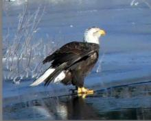 A bald eagle on the Sudbury River in Lincoln, photographed by Harold McAleer.