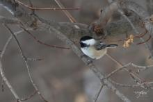 A black-capped chickadee in Westborough, photographed by Nancy Wright.