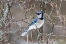A blue jay in Westborough, photographed by Nancy Wright.