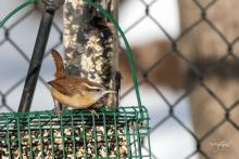 A Carolina wren in Westborough, photographed by Nancy Wright.