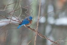 An eastern bluebird in Westborough, photographed by Nancy Wright.