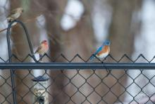 An eastern bluebird and house finches in Westborough, photographed by Nancy Wright.
