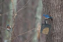 Eastern bluebirds in Westborough, photographed by Nancy Wright.