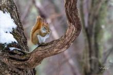 A red squirrel in Westborough, photographed by Nancy Wright.