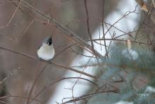 A tufted titmouse in Westborough, photographed by Nancy Wright.