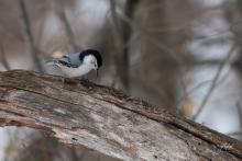A white-breasted nuthatch in Westborough, photographed by Nancy Wright.