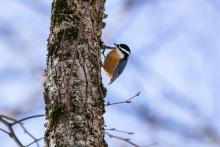 A red-breasted nuthatch in Stow, photographed by Jon Turner.