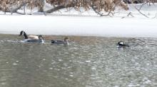 A Canada goose, gadwalls, and a hooded merganser at Hager Pond in Marlborough, photographed by Steve Forman.