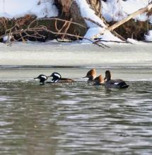 Hooded mergansers and a gadwall at Hager Pond in Marlborough, photographed by Steve Forman.