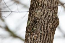 A brown creeper in Stow, photographed by Jon Turner.
