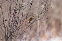 A hermit thrush in Stow, photographed by Jon Turner.