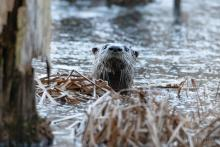 A river otter in Bolton, photographed by Jon Turner.