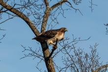 A red-tailed hawk in Bolton, photographed by Jon Turner.