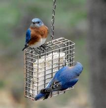 Eastern bluebirds in Wayland, photographed by Erin Lamb.
