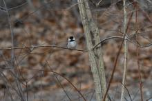 A black-capped chickadee in Maynard, photographed by Gail Sartori.