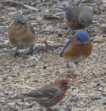 Eastern bluebirds and a house finch in Sudbury, photographed by Sharon Tentarelli.