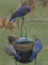Eastern bluebirds in Sudbury, photographed by Sharon Tentarelli.