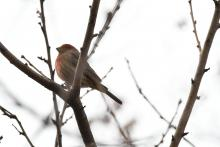 A house finch in Maynard, photographed by Gail Sartori.