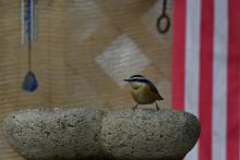 A red-breasted nuthatch in Maynard, photographed by Gail Sartori.