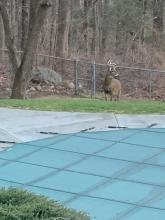 A white-tailed deer in Framingham, photographed by Linda Isaacson.