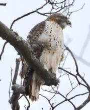 A red-tailed hawk at Breakneck Hill Conservation Land in Southborough, photographed by Steve Forman.