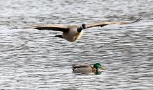 A Canada goose and a mallard at Hager Pond in Marlborough, photographed by Steve Forman.