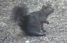 A black variation of a gray squirrel in Lincoln, photographed by Harold McAleer.