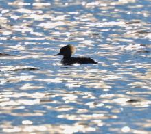 A hooded merganser at Chauncy Lake in Westborough, photographed by Steve Forman.