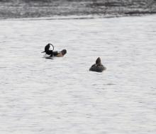 Hooded mergansers at Chauncy Lake in Westborough, photographed by Steve Forman.