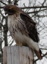 A red-tailed hawk in Stow, photographed by Sharon Tentarelli.