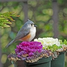 A tufted titmouse in Framingham, photographed by Joan Chasan.