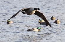 A Canada goose and mallards at Hager Pond in Marlborough, photographed by Steve Forman.