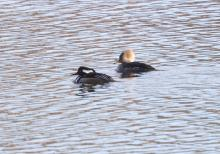 Hooded mergansers at the Sudbury Reservoir in Southborough, photographed by Steve Forman.