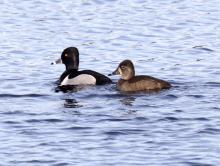Ring-necked ducks at the Sudbury Reservoir in Southborough, photographed by Steve Forman.