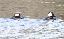 Hooded mergansers on the Sudbury Reservoir in Southborough, photographed by Steve Forman.
