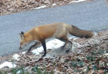 A red fox in Lincoln, photographed by Harold McAleer.