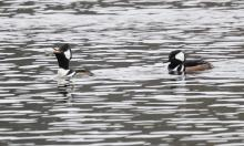Hooded mergansers at Hager Pond in Marlborough, photographed by Steve Forman.