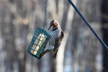 A northern flicker in Bolton, photographed by Jon Turner.
