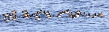 Ring-necked ducks on the Sudbury Reservoir in Southborough, photographed by Steve Forman.