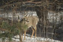 A white-tailed deer in Sudbury, photographed by Tree Raine.