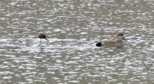 A common goldeneye and a gadwall at Hager Pond in Marlborough, photographed by Steve Forman.